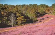 Langbiang plateau blossoms with pink grass