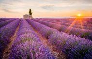 Ngất ngây trước cánh đồng hoa oải hương (lavender) Valensole ở Provence, Pháp